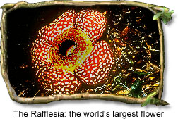 Rafflesia: The Worlds Largest Flower